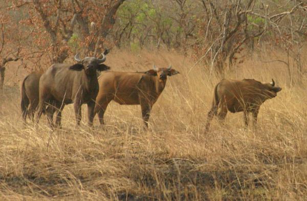 buffles au burkina faso lors d'un safari photo