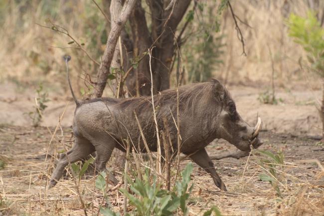 phacochère à chasser au sénégal gambie burkina faso namibie