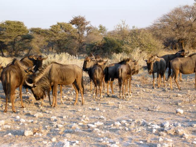 chasser le buffle en afrique