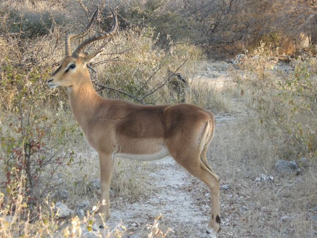 impala ou biche en afrique